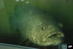 戴昆財的起居室飼養兩條重達150公斤的龍躉石斑