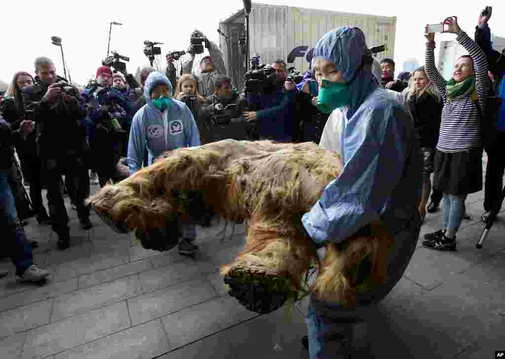 Russian Geographic Society staff members carry the body of baby mammoth to display in Moscow. The 39,000-year-old creature was found in the Siberian permafrost along the Yukagir coastline. Scientists call Yuka the best-preserved mammoth in history.