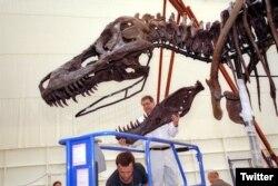 """""""Sue"""" - durante la instalación de su primera exhibición el el Museo Field de Chicago. Foto: @MuseoField."""