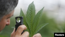 An employee inspects the leaf of a cannabis plant at a medical marijuana plantation in northern Israel, March 21, 2017.