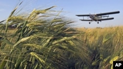 Mapping wheat's genetic blueprint could help researchers and breeders improve the crop.