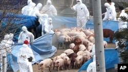 FILE - In 2010, South Korean health officials wearing protective gears prepare to slaughter pigs at a farm where the foot-and-mouth disease was found in Ganghwa Island, South Korea.