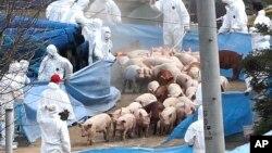 Petugas kesehatan Korea Selatan memusnahkan ratusan babi di lokasi peternakan yang dilanda penyakit kuku dan mulut (foto: dok).