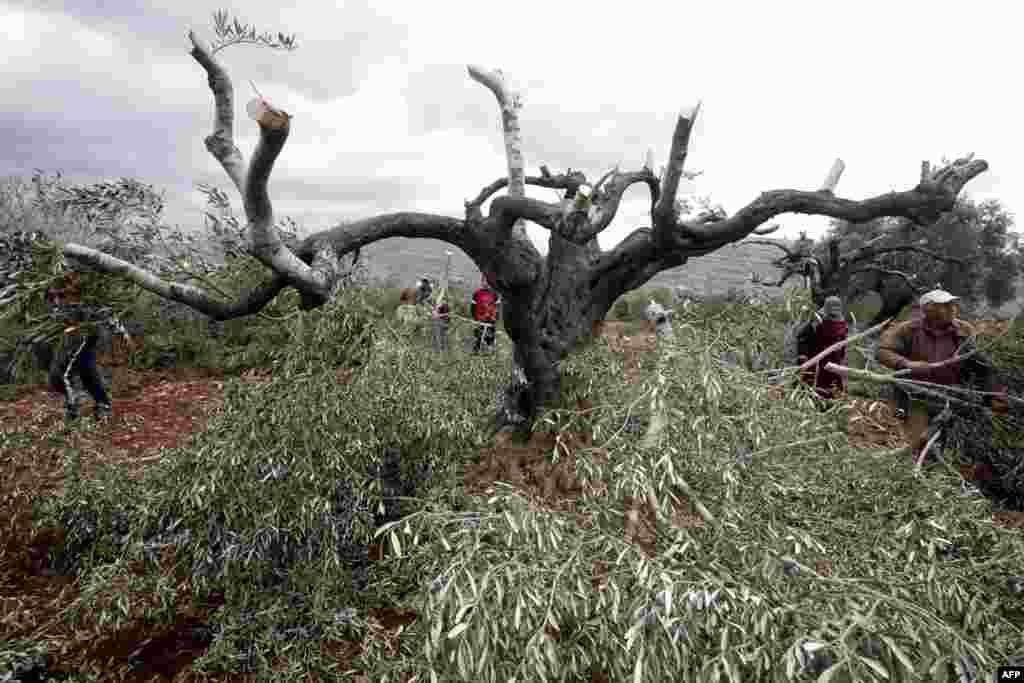 Nông dân Palestine đứng nhìn những cây ô-liu bị chặt cành tại làng Qarut thuộc miền bắc Bờ Tây. Theo các giới chức Palestine, khoảng 80 cây ô-liu bị chặt phá trong đêm tại Qarat trong một hành động phá hoại được cho là do người định cư Do Thái gây ra.