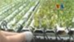 Amerika'da Topraksız Tarımcılık Yaygınlaşıyor