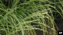 Teff, a staple grain of the Horn of Africa, does not contain gluten.