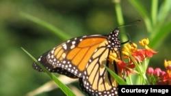 Las mariposas monarca en el este de Estados Unidos migran miles de kilómetros hasta México para pasar ahí el invierno y es considerado el insecto de Illinois.