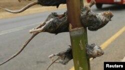 En ce qui concerne la peste, la contamination de rat à rat se fait par l'intermédiaire de leurs puces
