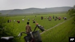 지난 6월 북한 강원도 주민들이 논에서 일하고 있다. (자료사진)