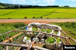 FILE- A truck is loaded with bags of tea leaves at a plantation in Nandi Hills, in Kenya's highlands region west of capital Nairobi, Nov. 5, 2014.