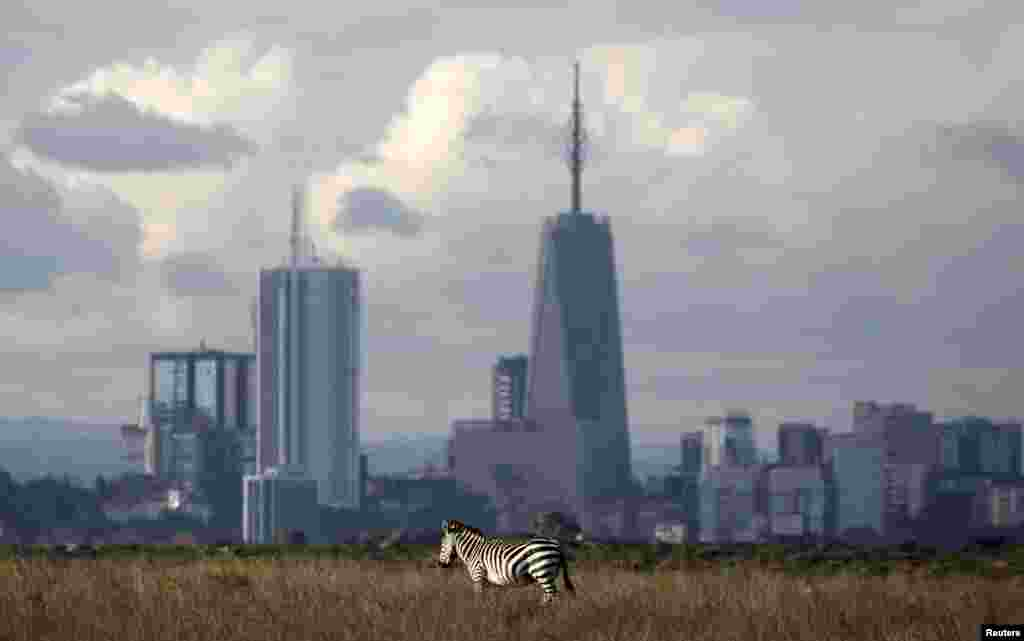 The Nairobi skyline is seen in the background as a zebra walks through the Nairobi National Park, Kenya.
