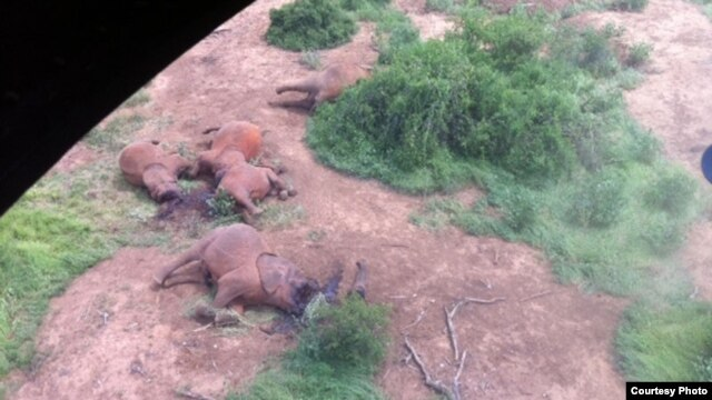 Some of the elephants killed  by poachers in Tsavo East National Park in Kenya, January 5, 2013. (Credit: Peter Leitoro of Kenya Wildlife Service)