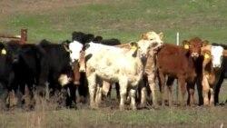 美国南部旱灾威胁牛业发展