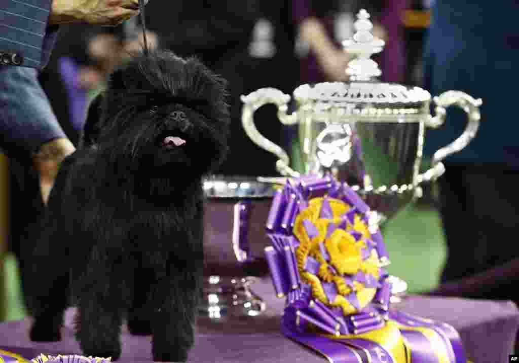 Banana Joe, seekor anjing jenis Affenpinscher, berdiri di samping piala setelah memenangkan lomba anjing Westminster Kennel Club ke-137 di Madison Square Garden, New York (12/2).
