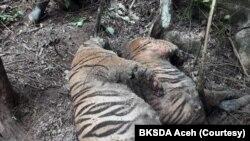 Dua dari tiga bangkai harimau Sumatera yang ditemukan mati karena infeksi luka terkena jerat di Desa Ie Buboh, Kecamatan Meukek, Kabupaten Aceh Selatan, Aceh, Kamis 26 Agustus 2021. (Courtesy: BKSDA Aceh)