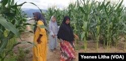 Para ibu anggota kelompok tani perempuan Galaksi (gempa dan likuifaksi) Huntara Desa Lolu beraktifitas di kebun tanaman jagung, 30 Juli 2019. (Foto: VOA/ Yoanes Litha)