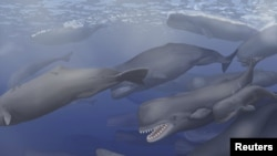 "A pod of Albicetus, meaning ""white whale,"" travel together through the Miocene Pacific Ocean, surfacing occasionally to breathe in this artist's rendering released to Reuters, Dec. 8, 2015."