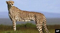 A cheetah on the plains of Masai Mara game reserve, Kenya.