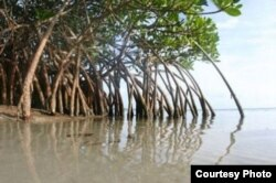 Conservationists say Cameroon is losing about 2,500 hectares of mangroves each year. The resulting erosion and loss of habitat for wildlife also threatens the jobs of up to five million people who live along the coast. (Cameroon Mangrove Network)