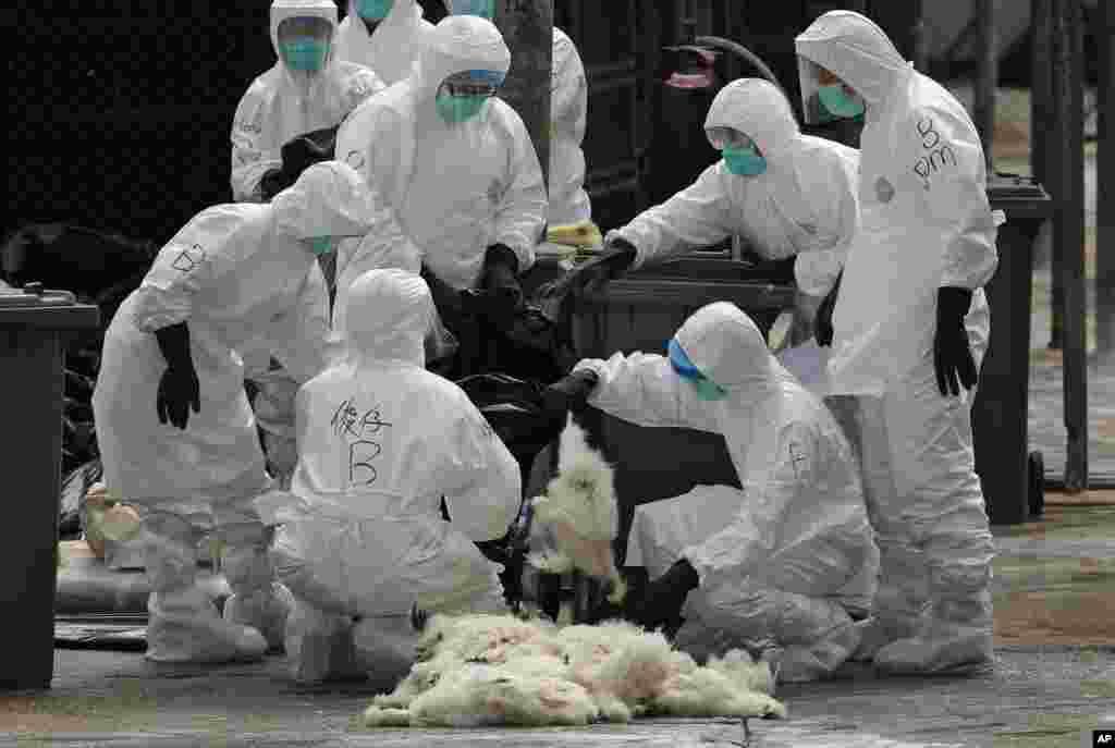 최근 홍콩의 중국산 수입 닭에서 조류독감 바이러스가 검출된 가운데, 보건 당국 관계자들이 바이러스가 검출된 조류도매시장에서 가금류 2만 마리를 살처분했다.