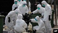 Các trường hợp cúm gia cầm đã tăng cao bất thường ở Trung Quốc kể từ năm ngoái.
