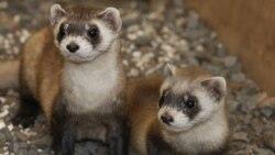 به لطف برنامه باغ وحش ملی در واشگتن موش خرماهای پاسیاه که با خطر انقراض روبرو بودند، تعدادشان پس از رها شدن در حیات وحش، به هفتصد افزایش یافته است.