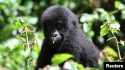 FILE - A young Grauer's gorilla is seen in the Kahuzi-Biega National Park in South Kivu, eastern Democratic Republic of Congo, Nov. 5, 2012.