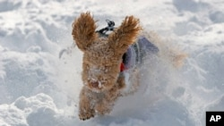 Maya, an Australian Labradoodle, bounds through the snow in Cranbury, N.J. on December 27, 2010. (AP Photo/Jim Gerberich)
