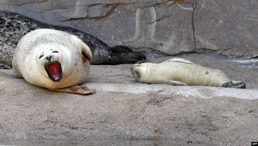 在德国巴登-符腾堡州的城市卡尔斯鲁厄,动物园里的海豹母子(2017年7月13日)。