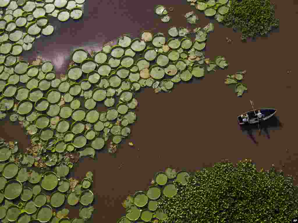 Hundreds of Victoria Cruziana plants float over the Salado river water in Piquete Cue, near Limpio, on Asuncion's outskirts, Paraguay, Jan. 7, 2018.