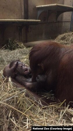 Batang and her newborn boy orangutan at just one hour old, at the Smithsonian National Zoo in Washington, D.C.