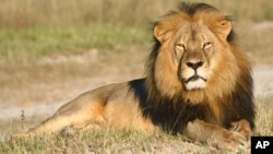 The famed lion, Cecil, killed in July by American dentist Walter Palmer.