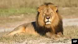 FILE: In this undated photo provided by the Wildlife Conservation Research Unit, Cecil the lion rests in Hwange National Park, in Hwange, Zimbabwe. (Andy Loveridge/Wildlife Conservation Research Unit via AP)