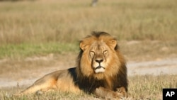 Zimbabwe's famous lion, Cecil, seen here in an undated file picture.