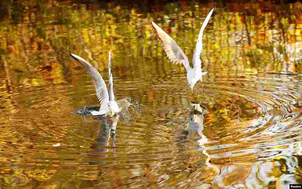 Warna dedaunan musim gugur tercermin dalam air, saat beberapa ekor camar menyelam untuk mencari makanan di sebuah kanal di kota Loughborough, Inggris.