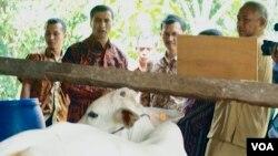 Musfata Imir, Kepala Perwakilan FAO Jakarta (dua dari kiri) dan Bupati Sleman Sri Purnomo (kanan) meninjau kandang sapi komunal di dusun Kuwang, kecamatan Cangkringan, kab. Sleman, Yogyakarta. (VOA/Munarsih Sahana)