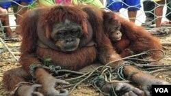 Penebangan hutan merusak habitat alami berbagai primata dan membuat mereka merambah keluar hutan seperti Orangutan di Sungai Pinyuh , Kalimantan Barat (foto: dok.).