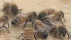 Bees Are Misunderstood, Experts Say