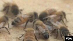 Lebah tidak tertarik pada manusia dan hanya fokus pada pekerjaannya. (foto: dok)