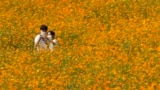 A couple wearing face masks as a precaution against the coronavirus takes a selfie in the middle of a cosmos field at Olympic Park in Seoul, South Korea, Thursday, Sept. 23, 2021.