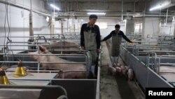 中國廣西的一個養豬場的工人正在把小豬趕出豬欄。 (2018年3月21日)