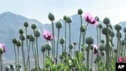 Poppy Production in Afghanistan