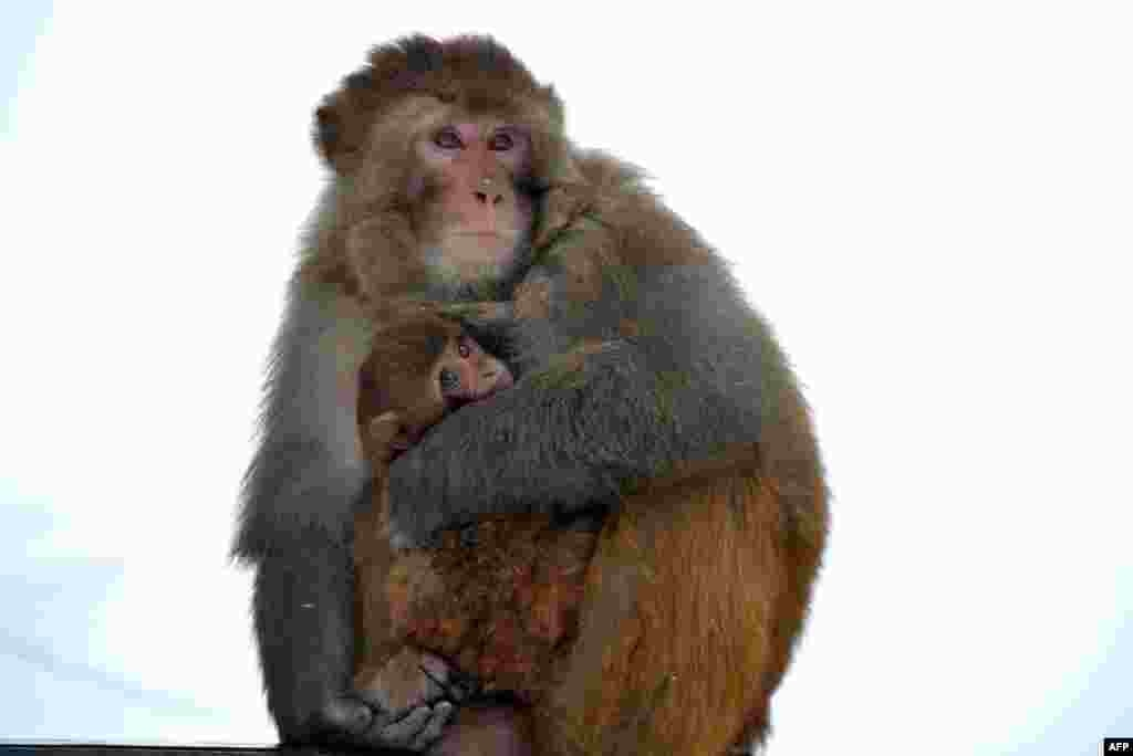 A baby monkey is cuddled by its mother to keep warm as the sub-zero temperatures freeze life during a fresh snowfall in Tangmarg, about 34 kilometers from Srinagar, India.