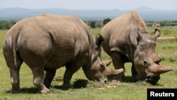 Najin, right, and her daughter Fatou, the last two northern white rhino females, graze near their enclosure at the Olpejeta Conservancy in Laikipia National Park, Kenya, March 31, 2018.