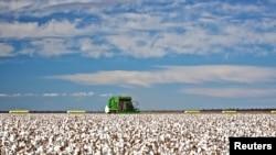 资料照:澳大利亚悉尼以西一个棉花种植农场的一片待收的棉桃。