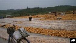 지난해 9월 북한 개성 외곽에서 수확한 옥수수를 쌓아놓았다.
