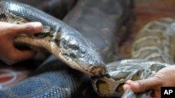 Las serpientes pitón son traídas a Norteamérica como animales exóticos pero se convierten en un peligro.