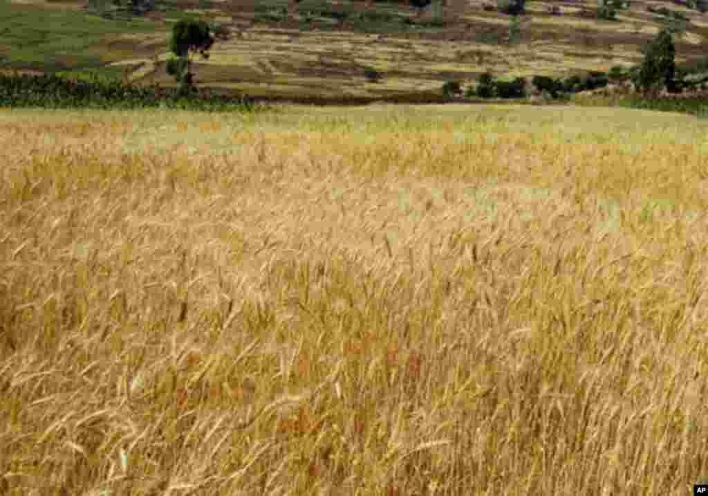 NOT SO MUCH TILLING Fields blooming with wheat in northern Ethiopia's Axum area prove the success of new techniques of tilling only once a year, a practice introduced by an Ethiopian agriculture student at the University of Ghent, Belgium. Ethiopia's far