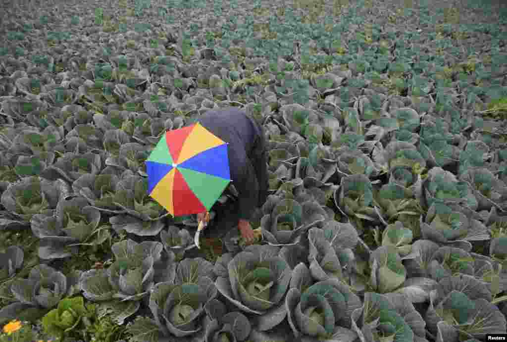 A farmer harvests cabbage in the town of al-Ansariyeh south of Sidon, Lebanon.