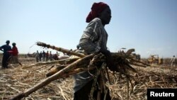 A laborer gathers sugarcane at a commercial farmland in Numan community, Adamawa state, northeast of Nigeria, Nov. 2009.